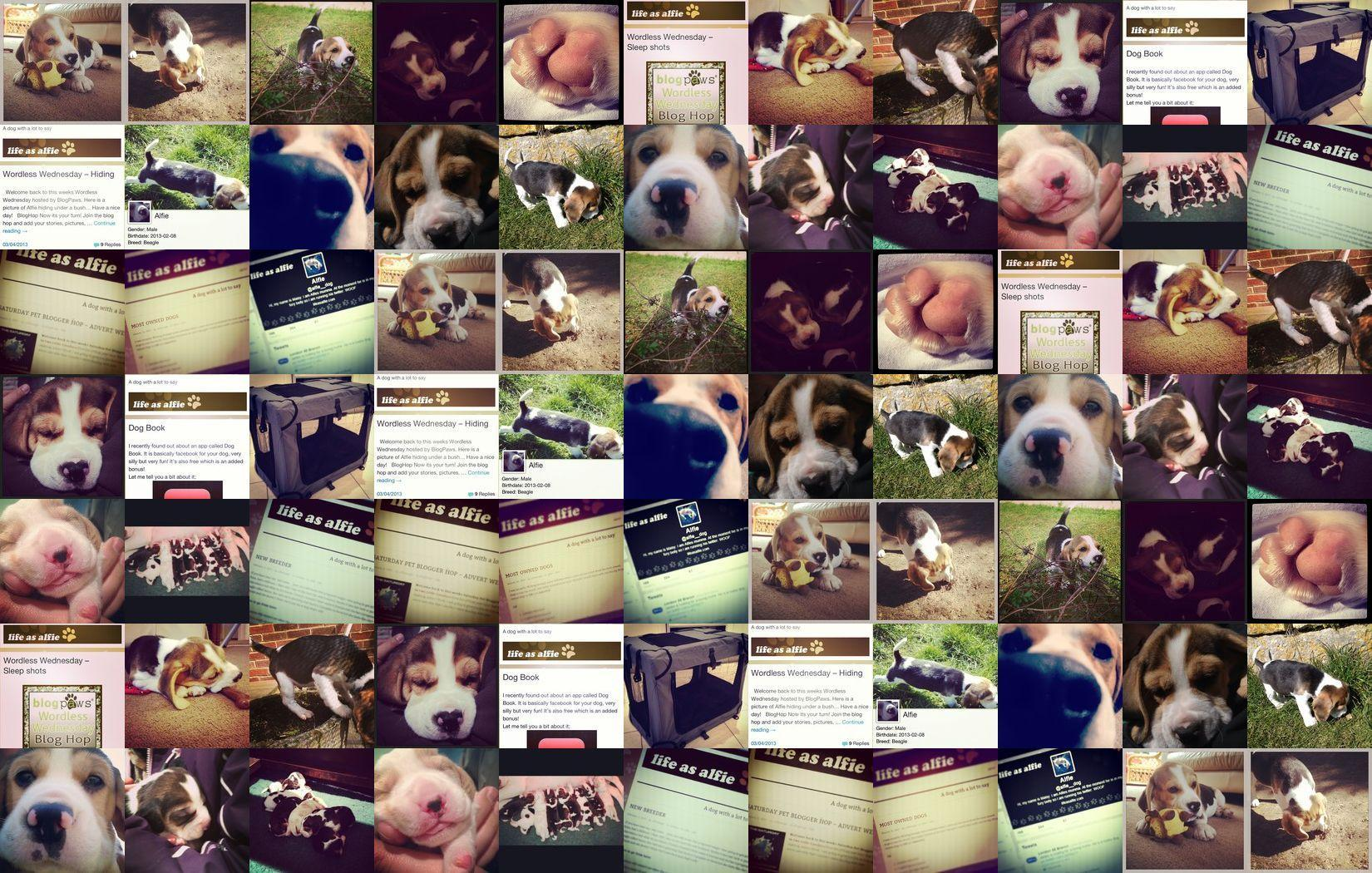 Alfie Beagle